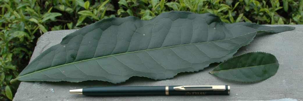 Тип чайного растения