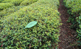 Своими глазами: один день на чайной плантации