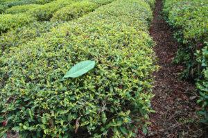 день на чайной плантации
