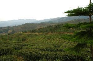 этапы приготовления чая