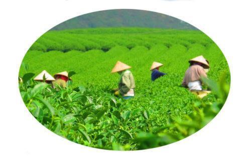 Как и какой чай пьют во Вьетнаме?
