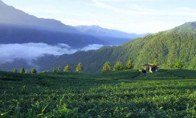Производство чая на Тайване