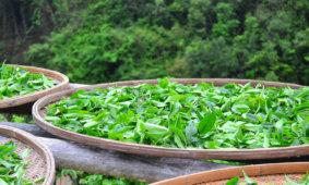 Чай – эликсир здоровья
